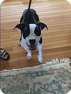 Boxer/Pit Bull Terrier Mix Dog for adoption in Elyria, Ohio - Niki