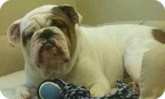 English Bulldog Dog for adoption in Odessa, Florida - Remington