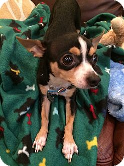 Chihuahua Puppy for adoption in Chicago, Illinois - Owen