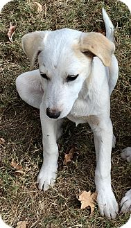 Golden Retriever/Labrador Retriever Mix Puppy for adoption in HAGGERSTOWN, Maryland - MONTANA