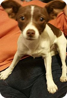 Chihuahua Mix Puppy for adoption in Smithtown, New York - Nutella