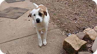 Border Collie/Hound (Unknown Type) Mix Puppy for adoption in Warrenton, North Carolina - Angel