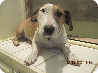 Bull Terrier/Basset Hound Mix Dog for adoption in La Mesa, California - SADIE