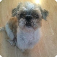Shih Tzu Mix Dog for adoption in Dana Point, California - Leo