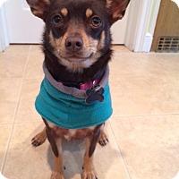 Adopt A Pet :: Millie  - MEET ME - Norwalk, CT