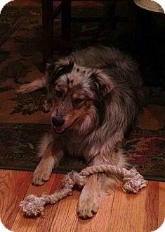 Australian Shepherd Mix Dog for adoption in Ada, Minnesota - Mesa-fostered in Minneapolis
