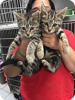 Domestic Shorthair Kitten for adoption in Manhattan, New York - Ike & Conner