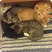 Adopt A Pet :: Maira's Kittens - Harrison, NY