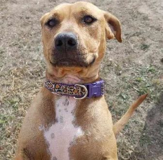 American Pit Bull Terrier Mix Dog for adoption in Larned, Kansas - Annie