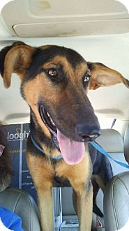 Shepherd (Unknown Type)/Hound (Unknown Type) Mix Dog for adoption in Mount Holly, New Jersey - Duchess