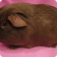 Adopt A Pet :: Cinnamon - Highland, IN