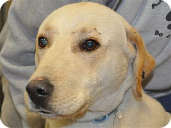 Labrador Retriever/German Shepherd Dog Mix Dog for adoption in Osage Beach, Missouri - Charlie