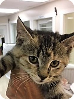 Domestic Shorthair Kitten for adoption in Medina, Ohio - Claire