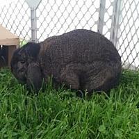 Adopt A Pet :: Honey - Plainfield, IN