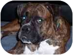Boxer Dog for adoption in Gainesville, Florida - Jay