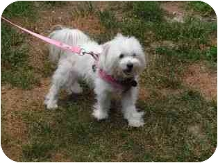 Maltese Dog for adoption in Norwalk, Connecticut - Sugar