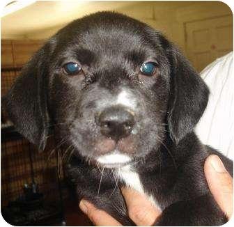Labrador Retriever Mix Puppy for adoption in Old Bridge, New Jersey - Lola