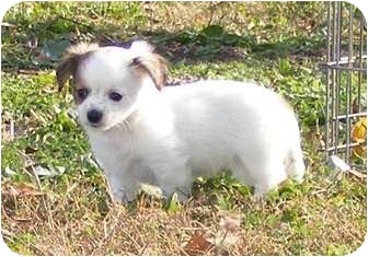 Chihuahua Mix Puppy for adoption in Oswego, Illinois - Stripes