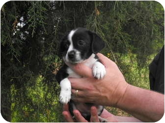 Beagle/Cocker Spaniel Mix Puppy for adoption in Wilminton, Delaware - Toad