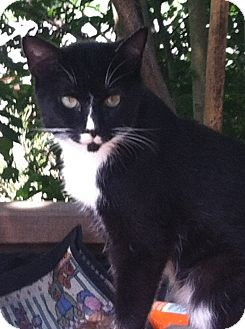 Domestic Shorthair Cat for adoption in Gallatin, Tennessee - Checkers