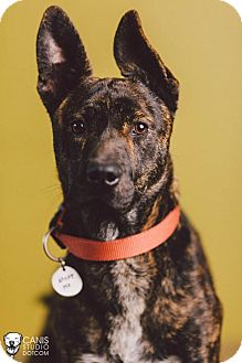 Dutch Shepherd Mix Dog for adoption in Portland, Oregon - Malcolm