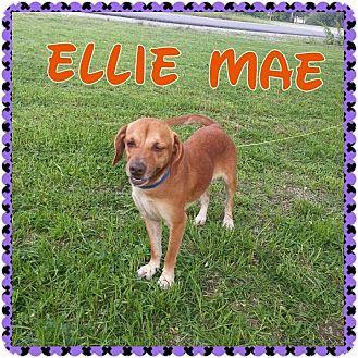 Hound (Unknown Type) Mix Dog for adoption in Donaldsonville, Louisiana - Ellie Mae