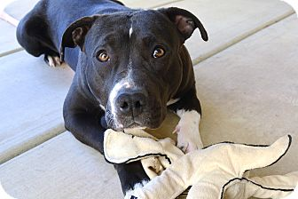 """American Staffordshire Terrier/Pit Bull Terrier Mix Dog for adoption in Bellflower, California - Daisy - """"I'm a smaller size!"""""""