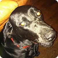 Adopt A Pet :: Belle - Hadley, MI