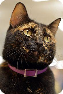 Domestic Mediumhair Cat for adoption in Daytona Beach, Florida - Jazzy