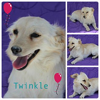 Spaniel (Unknown Type)/Dachshund Mix Dog for adoption in Pittsburgh, Pennsylvania - Twinkle