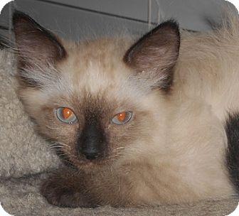 Domestic Mediumhair Kitten for adoption in North Highlands, California - Silko