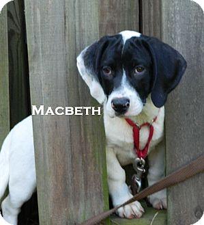 Labrador Retriever/Treeing Walker Coonhound Mix Puppy for adoption in Newnan, Georgia - Macbeth
