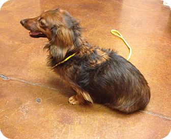 Dachshund Mix Dog for adoption in Las Vegas, Nevada - Rasco