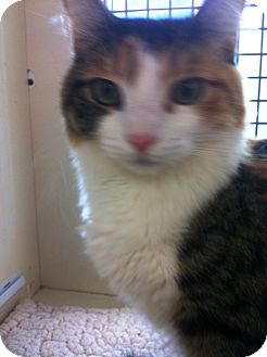 Calico Cat for adoption in Riverside, California - Lucy