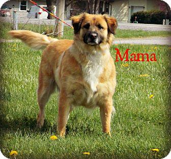 Golden Retriever/Shepherd (Unknown Type) Mix Dog for adoption in Defiance, Ohio - Mama