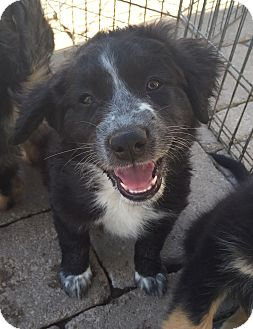 Australian Shepherd/Labrador Retriever Mix Puppy for adoption in Temecula, California - Puppy