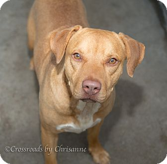 Labrador Retriever Mix Dog for adoption in Sierra Vista, Arizona - Butch