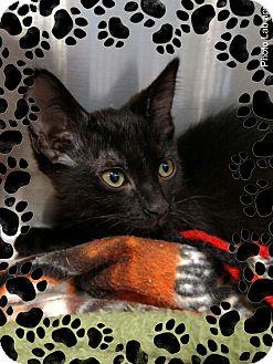 Domestic Shorthair Kitten for adoption in Pueblo West, Colorado - Rose Gold