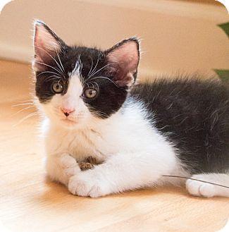 Domestic Shorthair Kitten for adoption in Chicago, Illinois - Moonstruck