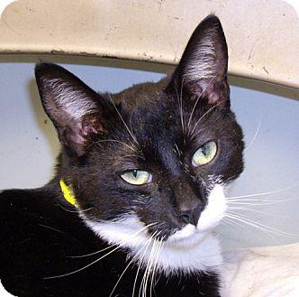 Domestic Shorthair Cat for adoption in Lovingston, Virginia - Cary Grant