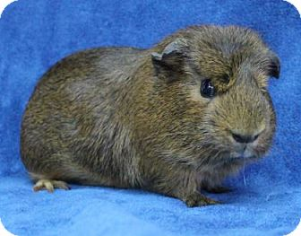 Guinea Pig for adoption in Benbrook, Texas - Brownie