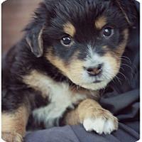 Adopt A Pet :: Kylo - Fredericksburg, VA