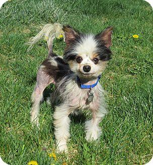 Papillon Dog for adoption in Nampa, Idaho - GUY