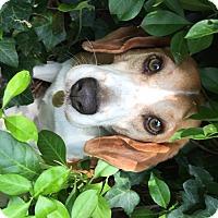 Adopt A Pet :: Briar - Richmond, VA