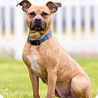 Pit Bull Terrier Mix Dog for adoption in Staten Island, New York - Sage - Professionally Trained