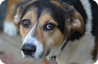 Welsh Corgi/Hound (Unknown Type) Mix Dog for adoption in Richmond, Virginia - Sarah