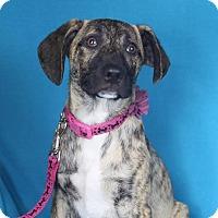 Adopt A Pet :: Gio - Minneapolis, MN