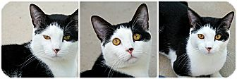 Domestic Shorthair Cat for adoption in Forked River, New Jersey - Danzig