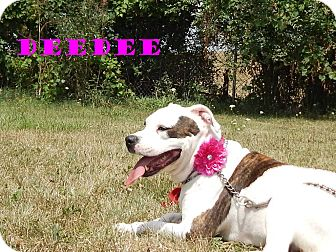 American Bulldog/American Pit Bull Terrier Mix Dog for adoption in Bucyrus, Ohio - DeeDee Darling