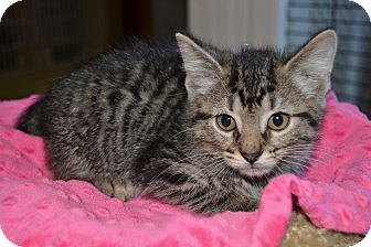 Domestic Shorthair Kitten for adoption in Michigan City, Indiana - Madison